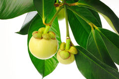 Young mangosteen Stock Image