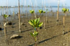 Young mangrove growing from salty water on supporting roots, at low tide. Young mangrove growing from salty water on supporting roots Royalty Free Stock Image