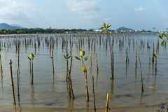 Young mangrove growing from salty water on supporting roots, at low tide. Young mangrove growing from salty water on supporting roots Royalty Free Stock Photos