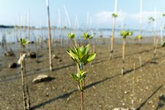 Young mangrove growing from salty water on supporting roots, at low tide. Young mangrove growing from salty water on supporting roots Stock Photography