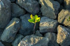 Young mangrove growing from salty water stock images