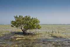 Young mangrove tree. Stock Photos