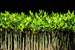 YOUNG MANGROVE TREE Stock Photography