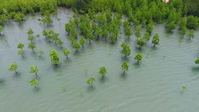 Young Mangrove Tree Forest at Seaside near Beach at Koh Phangan, Thailand. HD Aerial. stock video footage