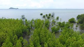 Young Mangrove Tree Forest at Seaside near Beach at Koh Phangan, Thailand. HD Aerial. stock footage