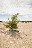 Young mangrove tree growing in barren landscape Stock Images