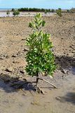 Young mangrove tree growing in shallow water Stock Photo
