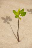 Young mangrove Stock Image