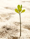 Young mangrove Royalty Free Stock Images