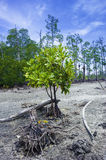 Young mangrove tree Royalty Free Stock Images
