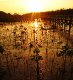 Young mangrove tree at sunset Stock Images