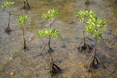 Young mangrove trees in forest at the estuary of a river. Stock Photos