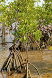 Young mangrove trees in forest at the estuary of a river. Royalty Free Stock Images