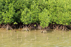 Young mangrove trees in forest at the estuary of a river. Royalty Free Stock Photo