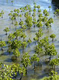 Young mangrove trees Royalty Free Stock Images