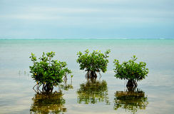 Mangrove Trees on Caribbean Royalty Free Stock Photography