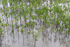 Young mangroves Royalty Free Stock Image