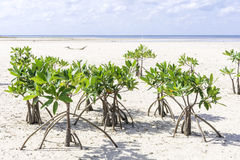 Young mangroves Stock Images