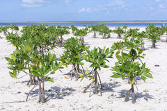 Young mangroves on beach royalty free stock photography