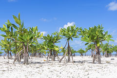 Young mangroves on beach Stock Images