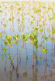 Young mangroves forest. Young shrubs grow in mangroves forest Stock Photos