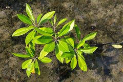 Young mangroves tree Stock Image