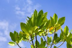 Young mangroves tree Royalty Free Stock Images