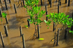 Young mangroves tree. In reforestation activity Stock Images