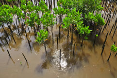Young mangroves tree. In reforestation activity Royalty Free Stock Image