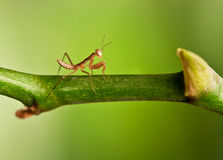 Young mantis Stock Image