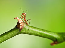 Young mantis Royalty Free Stock Photography