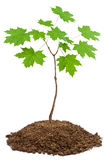 Young maple Royalty Free Stock Photo