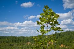 Young maple against the sky. Royalty Free Stock Image