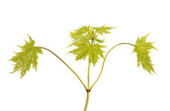 Young maple branch Stock Image