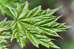 Young maple leaf in the forest close-up Royalty Free Stock Images
