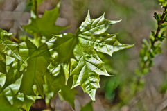 A young maple leaf. Royalty Free Stock Images