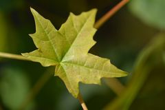 Young Maple leaf Royalty Free Stock Photo