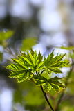 Young maple leaves Royalty Free Stock Images