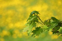Young maple leaves against a background of yellow-green meadow with a photo blur effect. Spring time of the year. Young maple leaves shine in the morning stock photos