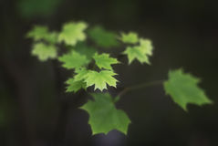 Young maple leaves stock photos