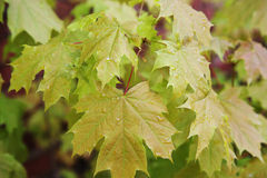 Young maple leaves on the branch Royalty Free Stock Photography