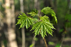 Young maple leaves on the branch. Forest background Stock Photo