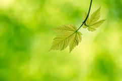 Young maple leaves in the forest Royalty Free Stock Photo