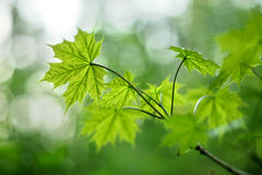Young maple leaves with narrow DOF. An image of some young maple leaves with narrow DOF stock image
