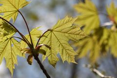 Young Maple leaves in the rays of sunlight.  royalty free stock photography