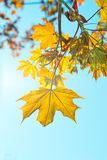 Young maple leaves Stock Image