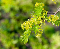 Young maple leaves Stock Images