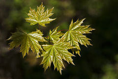 Young maple leaves Royalty Free Stock Image