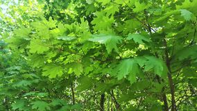 Young maple leaves sway in the wind. 4K. Young maple leaves sway in the wind. Spring. 4K stock video footage