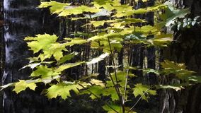 Young maple tree in autumn forest. There is a short but marvellous time in the autumn: the golden autumn or Indian summer. The whole day is clear like a crystal stock video